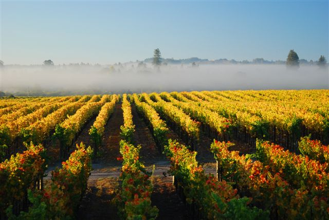 Morning fog in vineyard